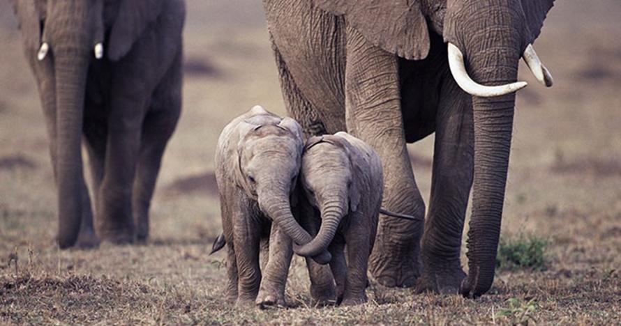 10 Foto tingkah lucu anak gajah, ngegemesin banget pokoknya