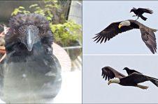 10 Foto buktikan gagak adalah burung paling usil dan nakal