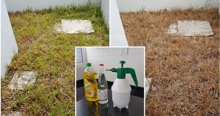 Bisa dibuat di rumah, cairan ini ampuh bunuh rumput liar pekarangan