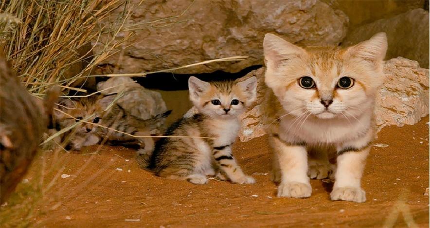 Felis margarita, kucing imut-imut yang berdaun telinga lebar
