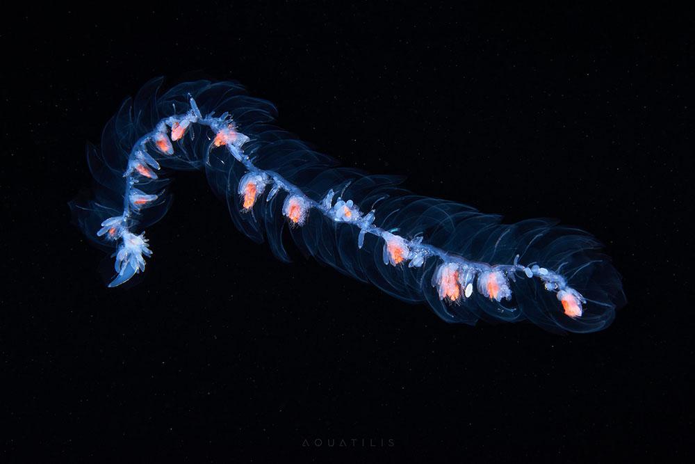 penampakan makhluk yang hidup di dasar samudera © 2017 Alexander Semenov