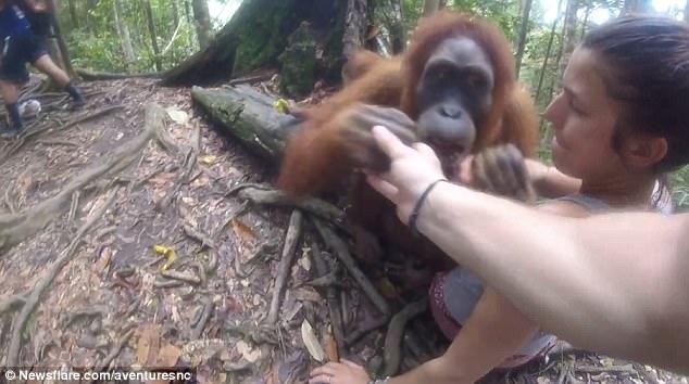Orangutan ini cengkeram tangan turis wanita dan hendak menggigitnya