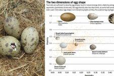 Ini alasan kenapa telur ada yang berbentuk lonjong dan bulat