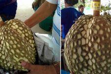 Trik petani ini layak ditiru, hilangkan duri durian dalam 5 menit saja