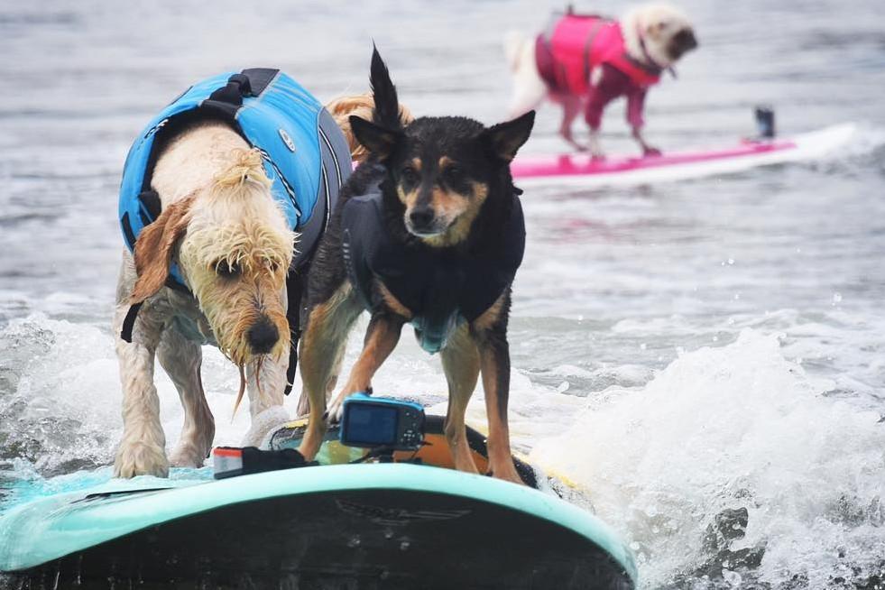 6 Foto ini tunjukkan anjing ternyata juga pandai berselancar