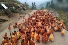 Video segerombolan ayam terbang demi makanan ini bikin melongo
