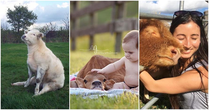 10 Momen saat sapi bertingkah seperti anjing, bikin terheran-heran