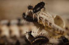 Serangga ini bisa habiskan bangkai hingga tinggal tulang, serem abis