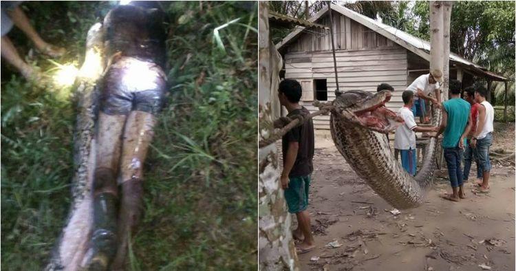 3 Kasus ular piton memangsa manusia, ada yang ditelan bulat-bulat