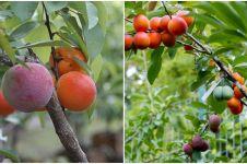 Aneh tapi nyata, satu pohon ini mampu hasilkan 40 jenis buah