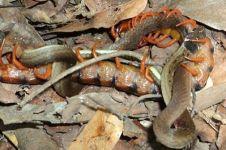 Pertarungan langka, lipan raksasa memangsa seekor ular