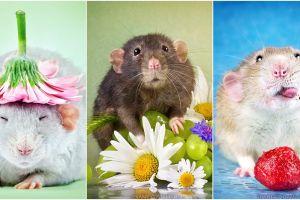 Bak model, 15 foto ini bukti tikus juga lihai berpose imut & fancy