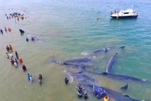 10 Ekor paus terdampar di Aceh, video penyelamatannya bikin haru