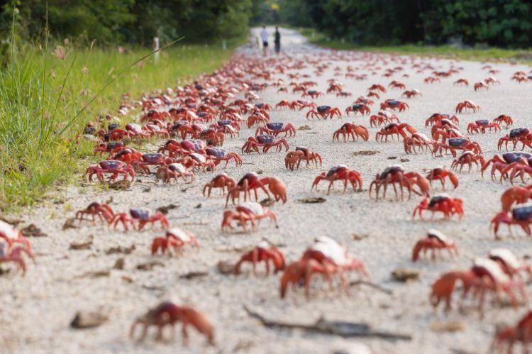 8 Foto langka, jutaan kepiting 'serbu' daratan hingga jalanan ditutup
