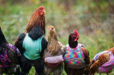 Di Jawa dapat 10 ekor, di perbatasan ayam potong seekor Rp 400.000!