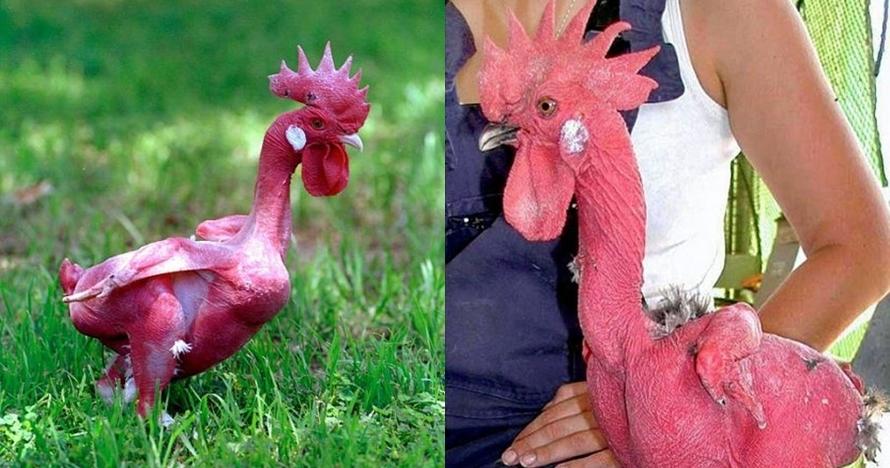 Ilmuwan ini berhasil ciptakan ayam tanpa bulu pertama di dunia