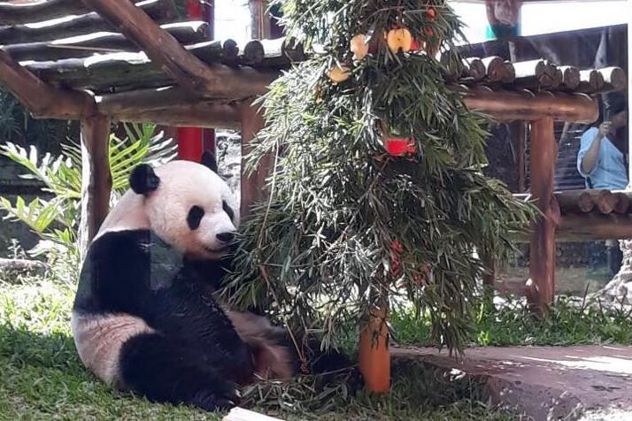 Rayakan natal, dua panda di Taman Safari Indonesia dapat hadiah