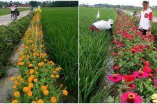 10 Potret sawah dengan pagar bunga, cantik dan baik untuk usir hama