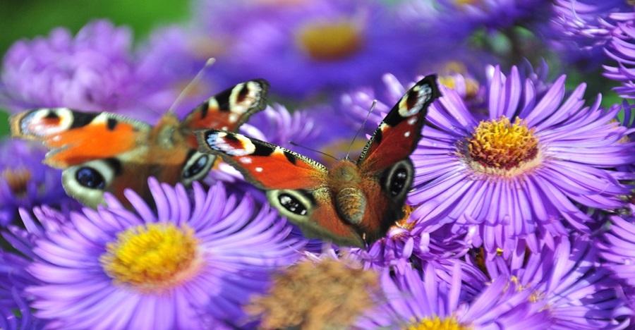Kupu-kupu ternyata usianya lebih tua dari bunga, ini penjelasannya