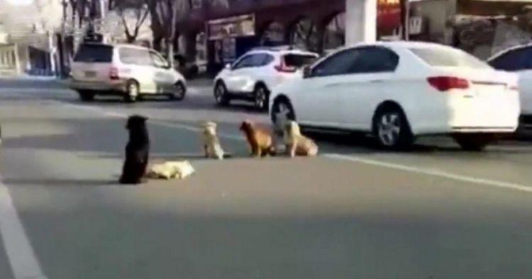 Kisah anjing tunggui sesamanya yang ditabrak, ikutan haru