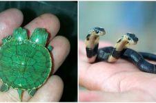 Selain ular, 8 hewan punya dua kepala ini bikin geli-geli gimana gitu