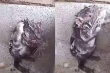 Kelakuan tikus ini bikin ketawa ngakak, mandi pakai sabun bak manusia