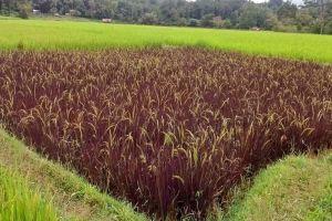 Lagi ngehits ini penjelasan padi ungu yang suka jadi obyek selfie