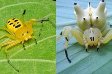 Tak selalu mengerikan, 10 laba-laba ini punya warna & bentuk yang lucu