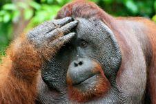 Tragis, ini 4 kasus kematian orangutan yang diberondong peluru