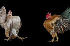 7 Foto pemotretan kontes kecantikan ayam, gayanya bak peragawati