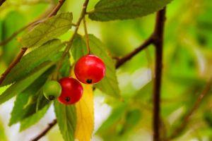 Sering disepelekan, ternyata ini 7 manfaat buah kersen bagi tubuh