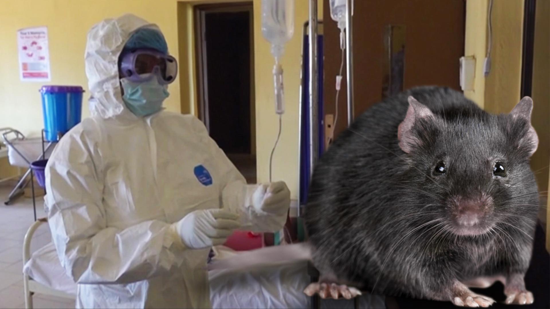 Waspadai wabah lassa, penyakit mematikan yang kini melanda Nigeria
