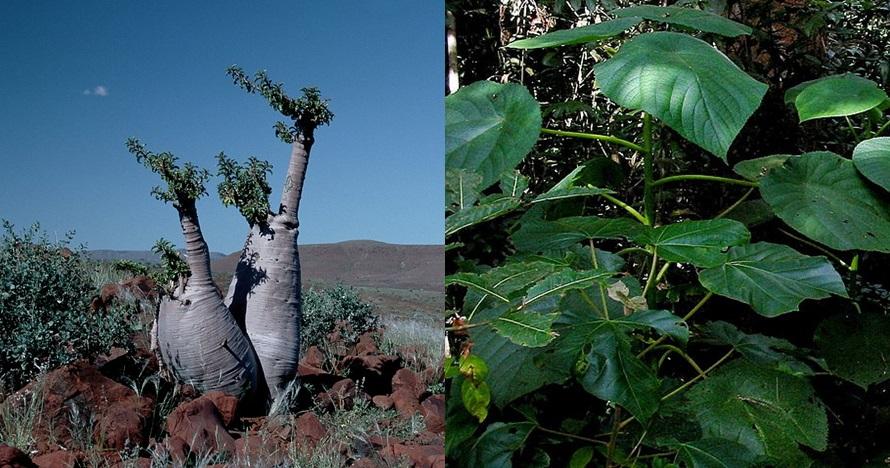 5 Pohon dan tanaman paling mematikan di dunia, ada yang di Indonesia