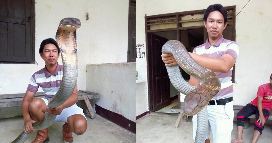 Heboh ular king cobra raksasa yang langka dari Kalimantan