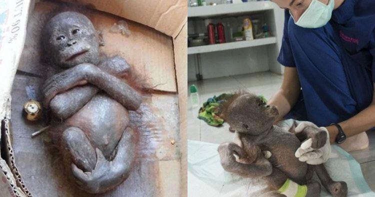 Dulu dibuang di dalam kardus, kondisi orangutan ini kini tak disangka