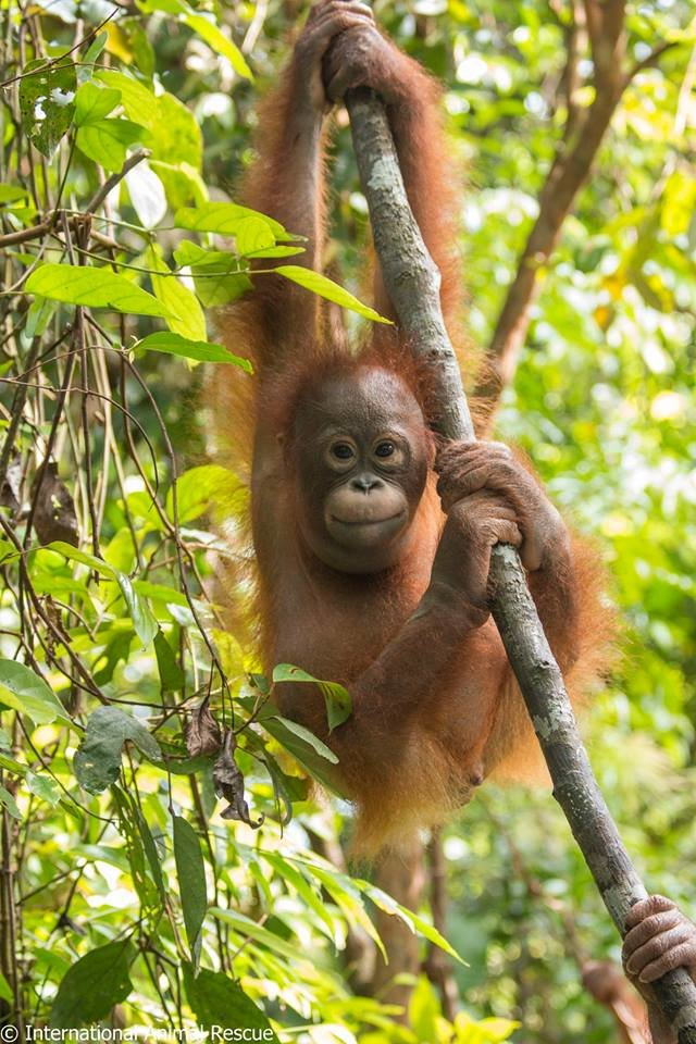 gito orangutan dalam kardus © berbagai sumber