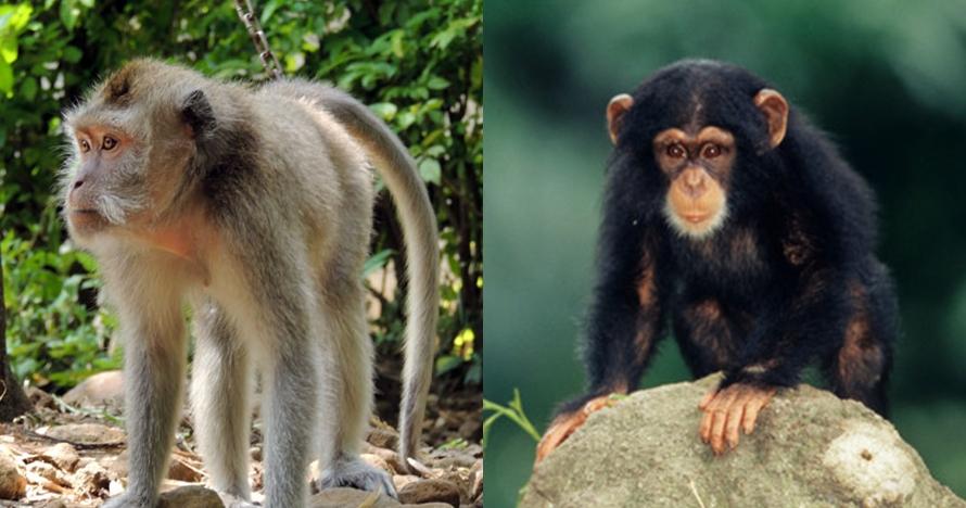 monyet kera beda © 2018 berbagai sumber