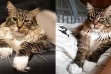 11 Foto lucunya Ludo, kucing terbesar di dunia yang ngegemesin banget