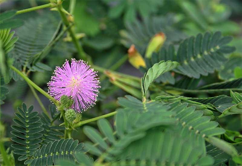 tumbuhan jadul © 2018 berbagai sumber