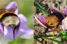 10 Potret pantat lebah saat menghisap bunga, gemesin banget