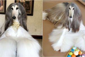 10 Gaya Battle anjing berbulu indah, biaya perawatannya Rp 210 juta