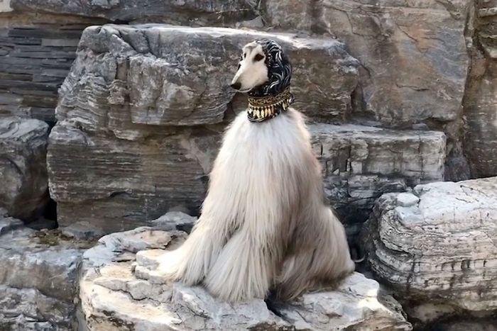 anjing bulu indah battle © 2018 brilio.net berbagai sumber