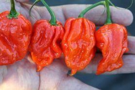 5 Jenis cabai terpedas di dunia yang bisa bikin lidahmu panas terbakar