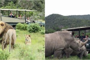 Nekat berburu cula badak, 3 pemburu ini tewas diterkam singa