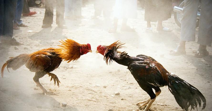 4 Momen kocak ayam jago serang pemiliknya, siapa yang menang?