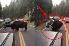 Pria ini tantang bison berantem, hasil akhirnya bikin melongo