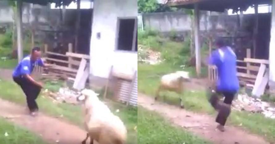 Aksi pria berkali-kali lolos dari serudukan kambing, bikin deg-degan