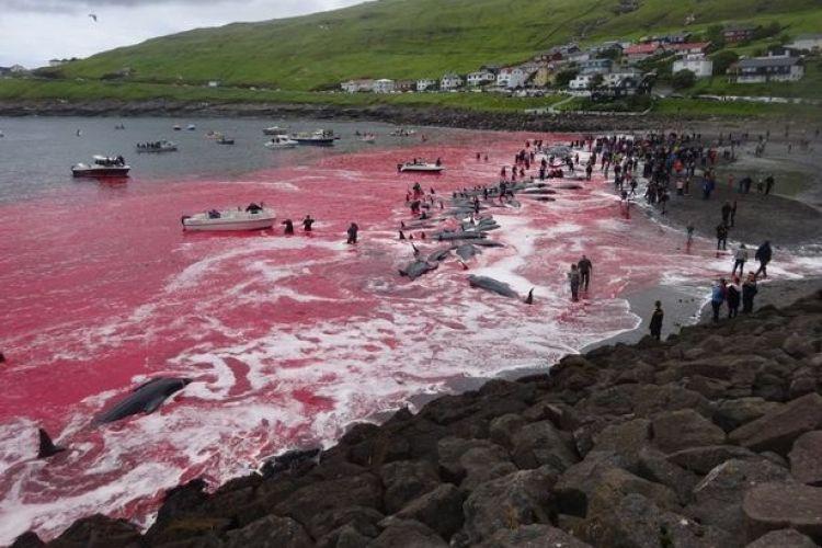 Potret sadisnya pembantaian paus, lautan berubah merah karena darah