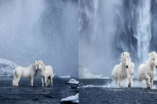 10 Potret kuda di Islandia, mengagumkan bak di negeri dongeng