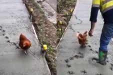 Usil banget, cara ayam ganggu pekerja jalan ini bikin emosi jiwa